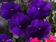 petunia_hybrida